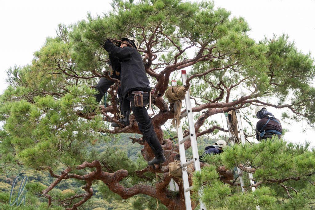 Intensive Baumpflege. Insgesamt waren 7 Gärtner mit dem Baum beschäftigt