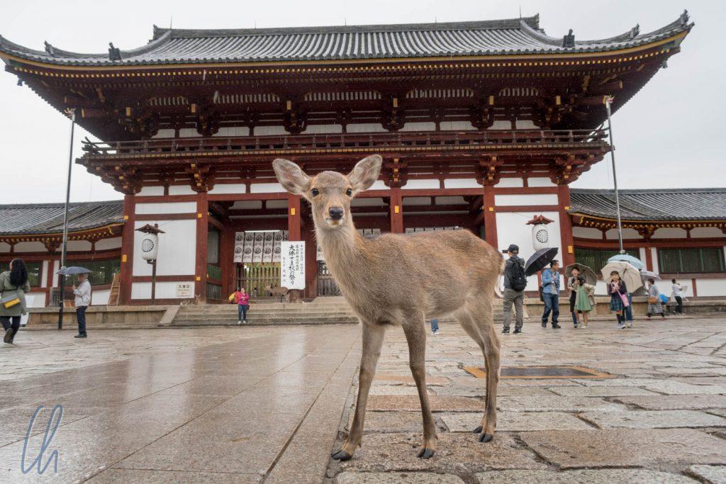 Die Rehe von Nara sind überall, auch vor dem Nandaimon des Todai-ji