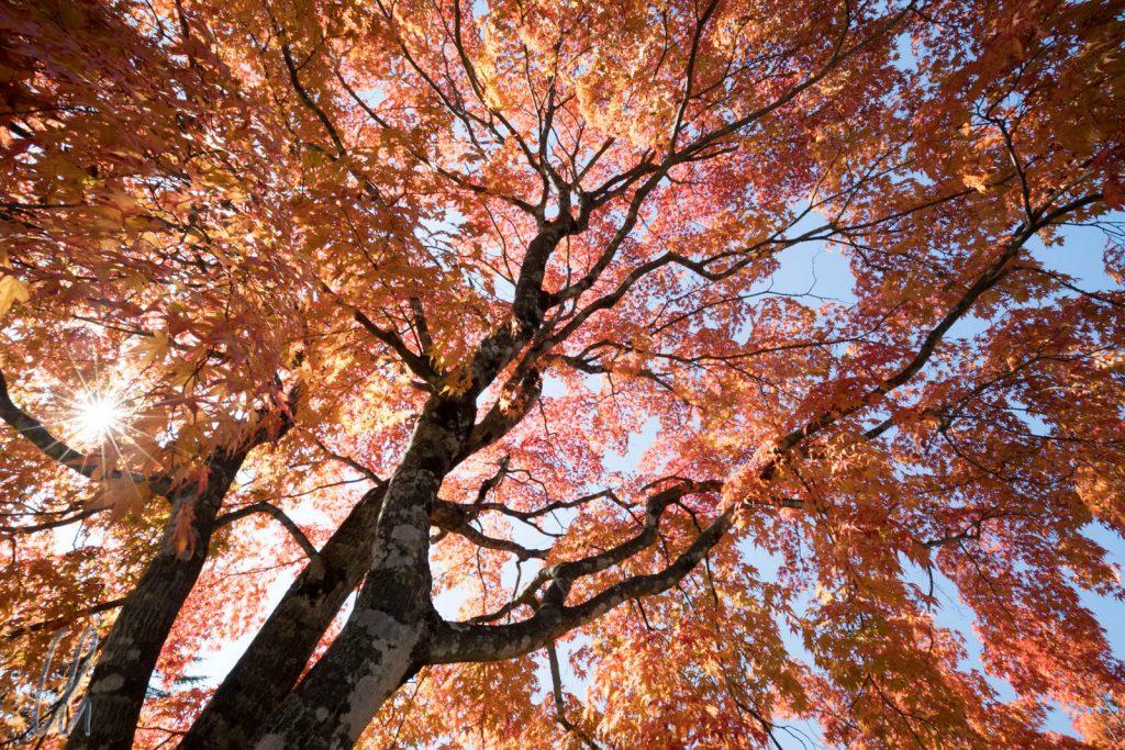 Goldener Oktober und bunte Ahornblätter