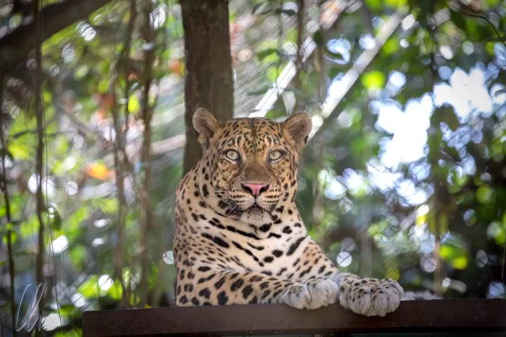 Mr. Grumpy, der Leopard - eigentlich nicht heimisch in Kambodscha