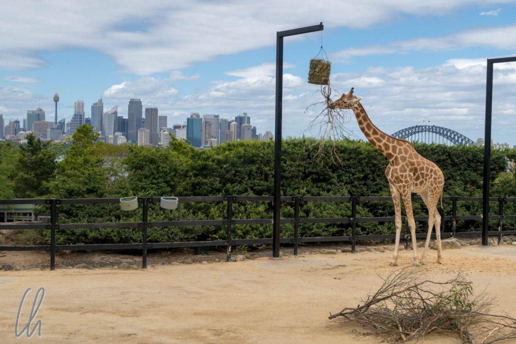 Zoo mit Aussicht, besonders für die Giraffen