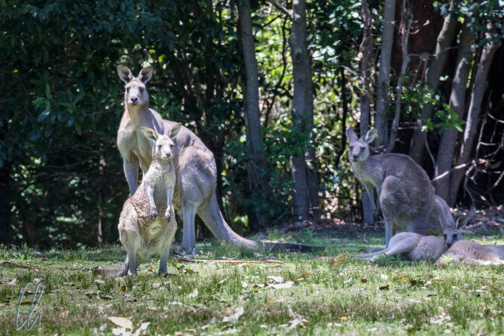 Känguru-Familie am Kangaroo Beach