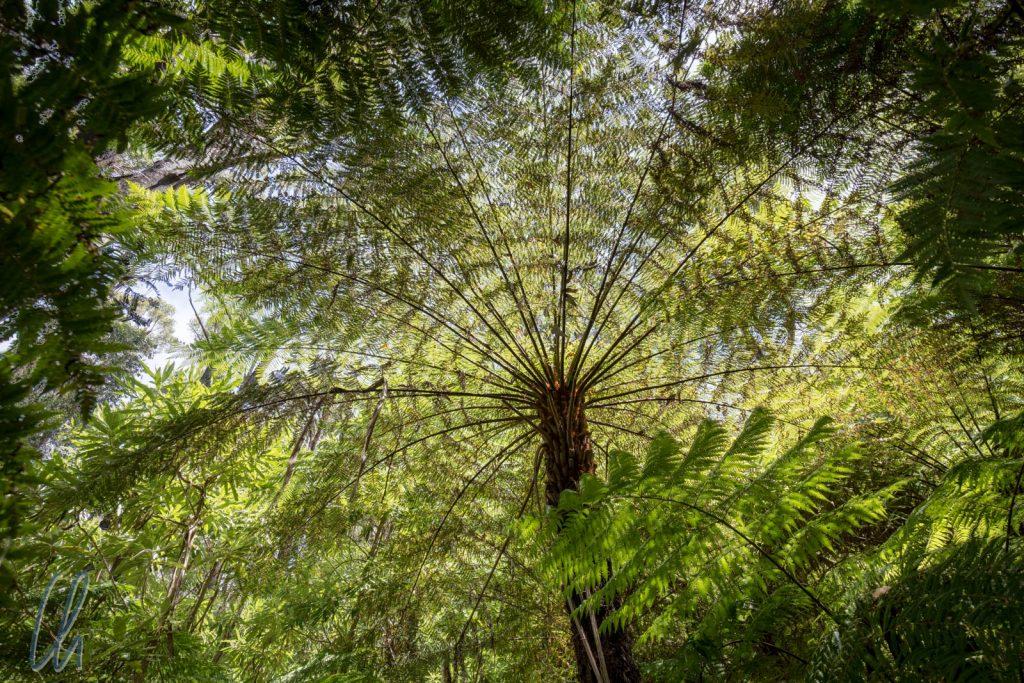 Baumfarn im Regenwald