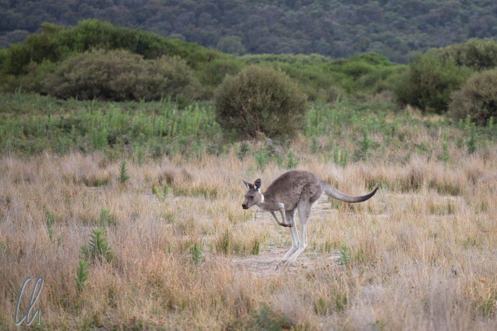 Die Kängurus kommen abends zum Grasen auf die offenen Grasflächen des Parks