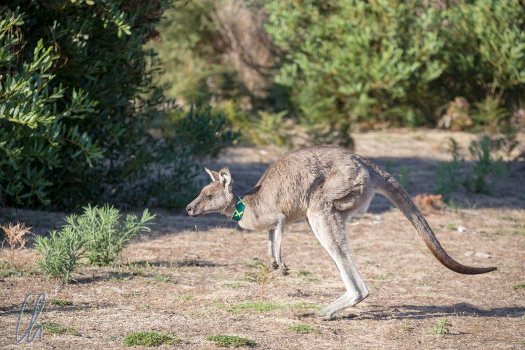 Kangaroo-Crossing! Das Halsband dient Forschungszwecken im Park