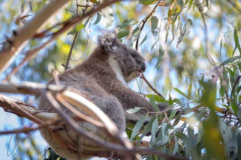 Dieser Koala begrüßte uns bei der Ankunft im Bimbi-Park