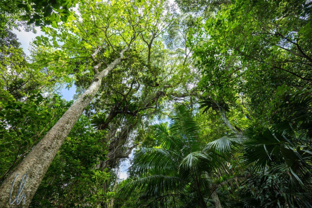 Der rote Kontinent ganz grün im Minnamurra Rainforest