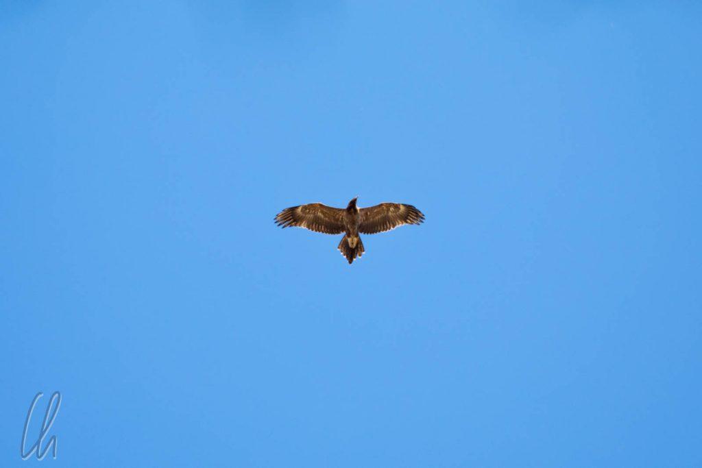 Bunjil, Erschaffer der Welt für die Koori. Er wacht über das Land als Adler.