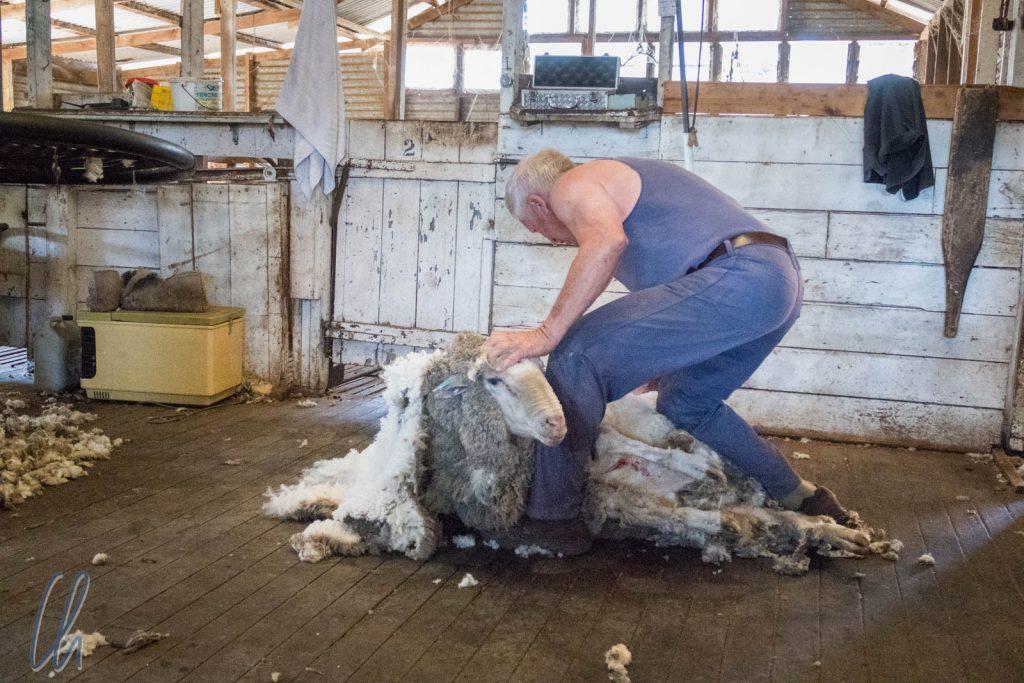 Gleich ist die ganze Wolle ab