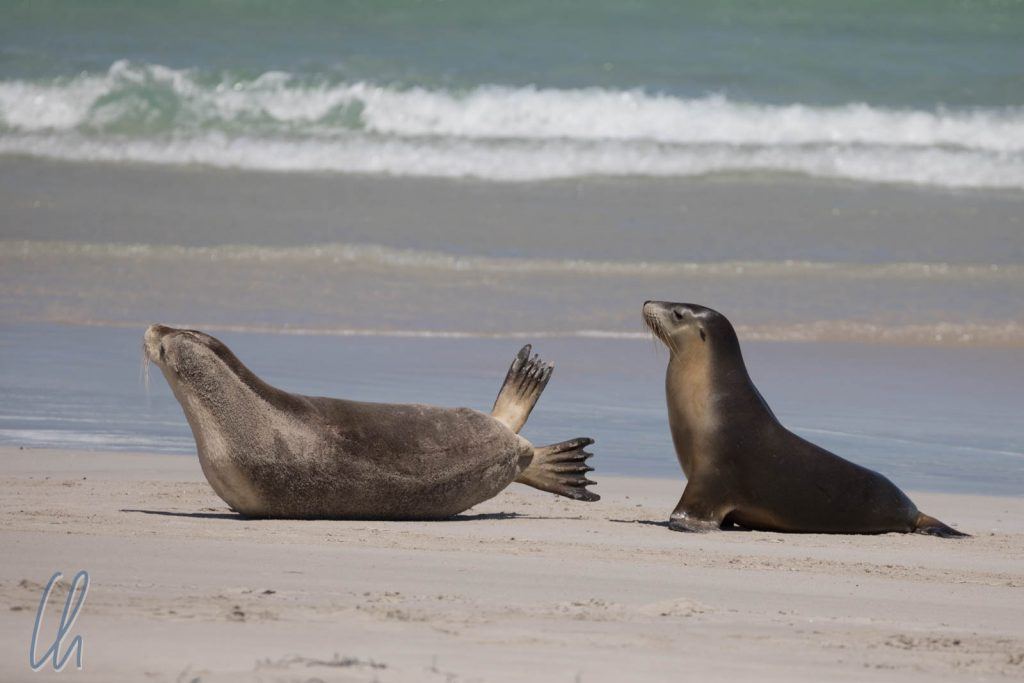 2 Seelöwen am Strand der Seal Bay