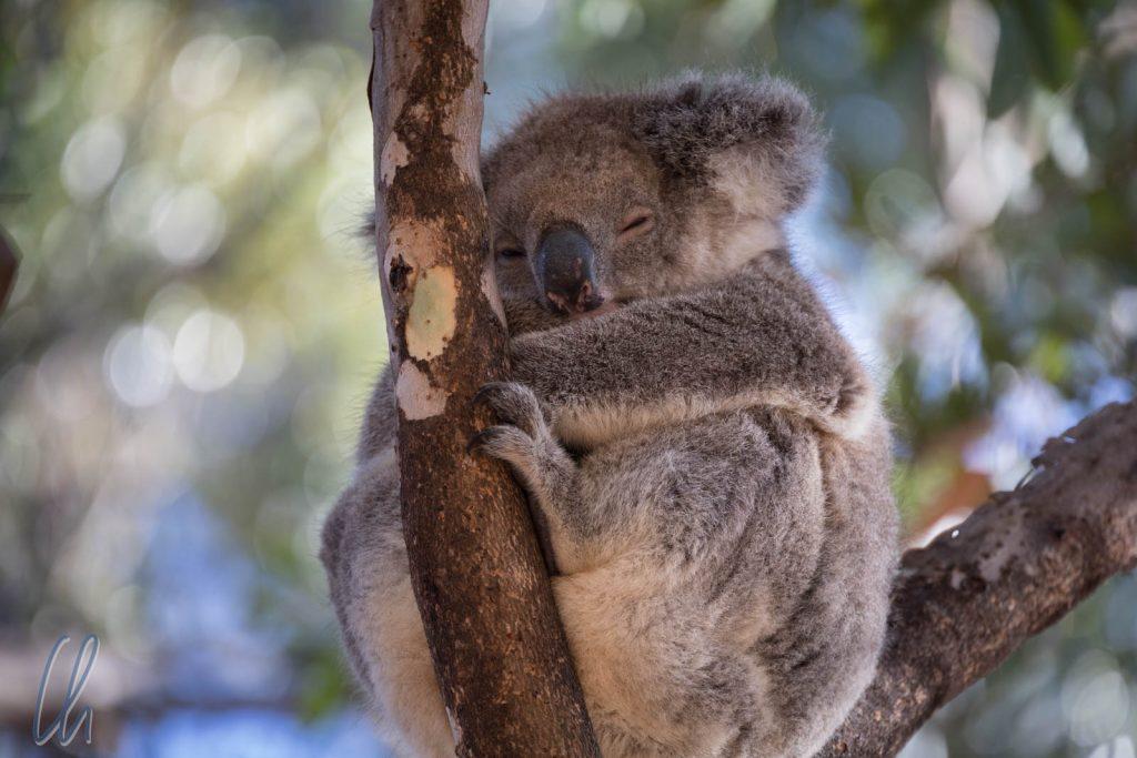 Kann so ein niedlicher Koala zur Plage werden?