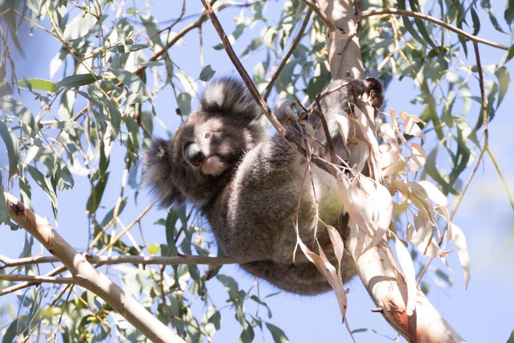 Ein aufgeweckter Teddybär im Eukaplytusbaum