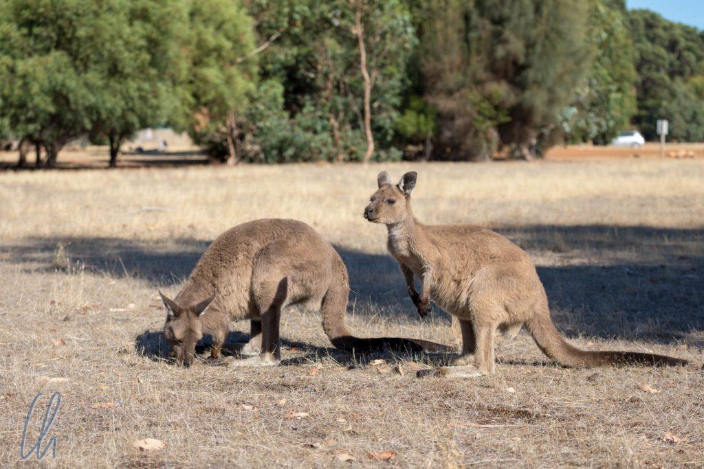 Natürlich gibt es auf Kangaroo Island auch Kängurus!
