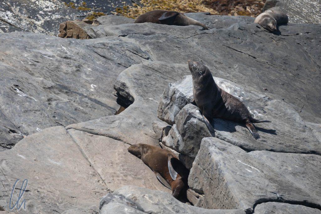 Neuseelänische Seebären, auch auf Kangaroo Island zusause