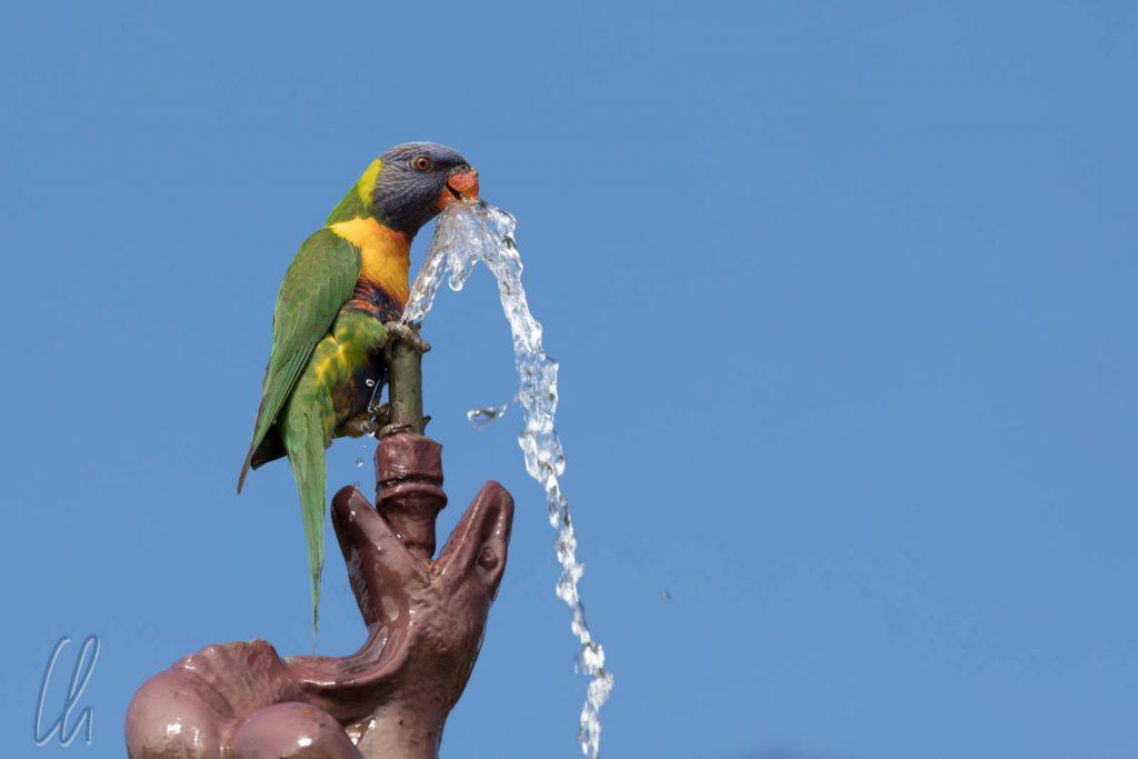 Durstiger Papagei im Park in Adelaide