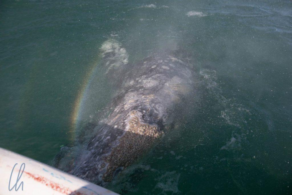 Ein Wal taucht direkt neben unserem Boot auf und nebelt uns ein