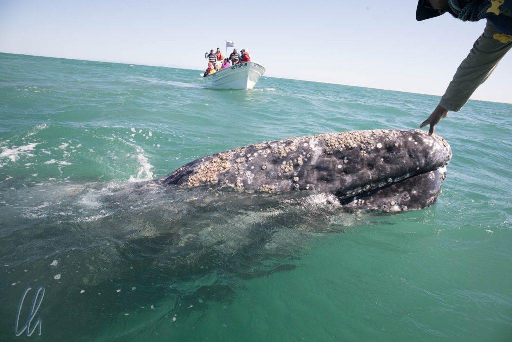 Den Grauwalen ganz nahe. Sie näherten sich den Booten so nah, dass wir sie berühren konnten