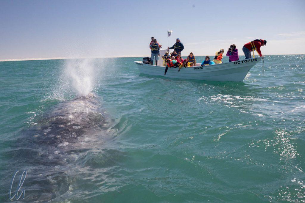 Whale Watching hautnah: Ein Wal nähert sich dem Boot