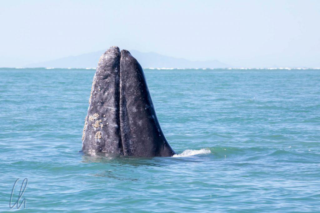 Beim Spyhopping stehen die Wale auf ihrer Schwanzflosse um sich einen Überblick zu verschaffen