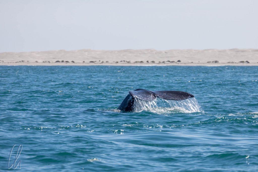 Mache Wale hatten auch keine Lust näher zu kommen und zeigten und die Schwanzflosse