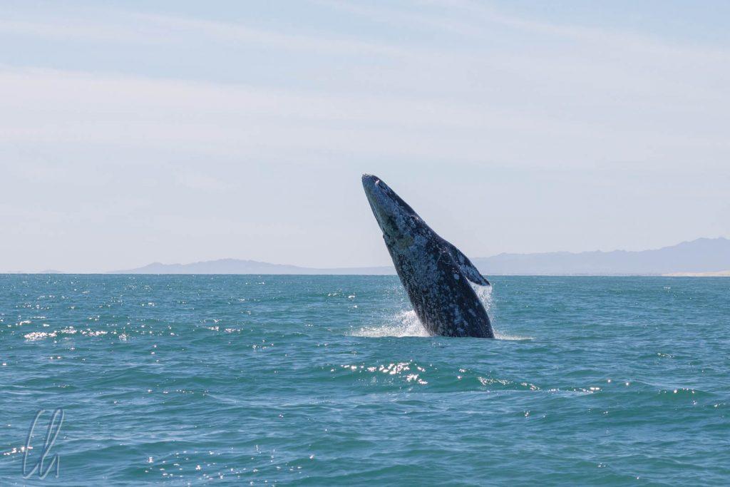 Ein Wal springt in der Ferne aus dem Wasser