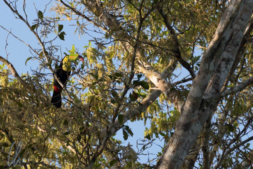 Ein farbenprächtiger Keel-billed Toucan