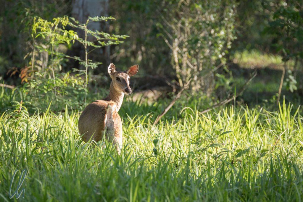 Ein Chan Chich Bamby (White Tailed Deer) im Morgenlicht