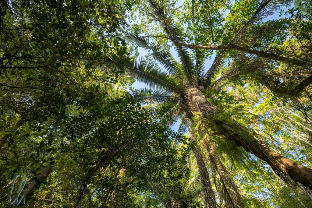 Gigantische Cohune Palmen sahen wir öfter im Dschungel