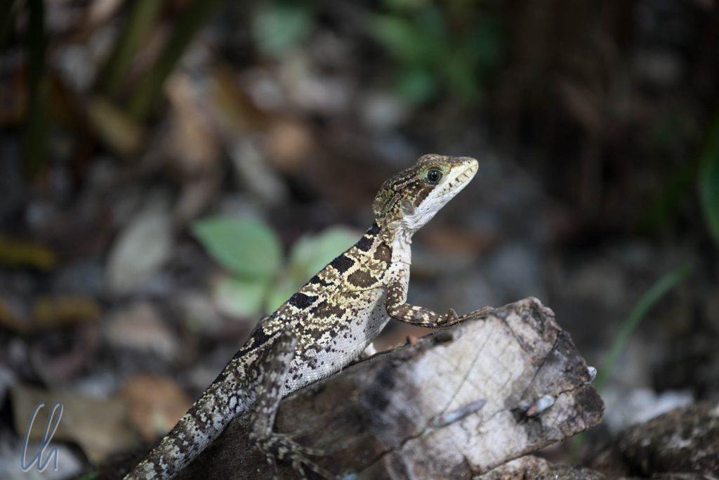 Baselisc Lizard, weiblich