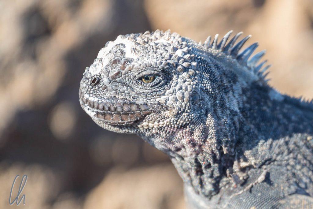 Auge in Auge mit dem Land-Iguana (auf Floriana)