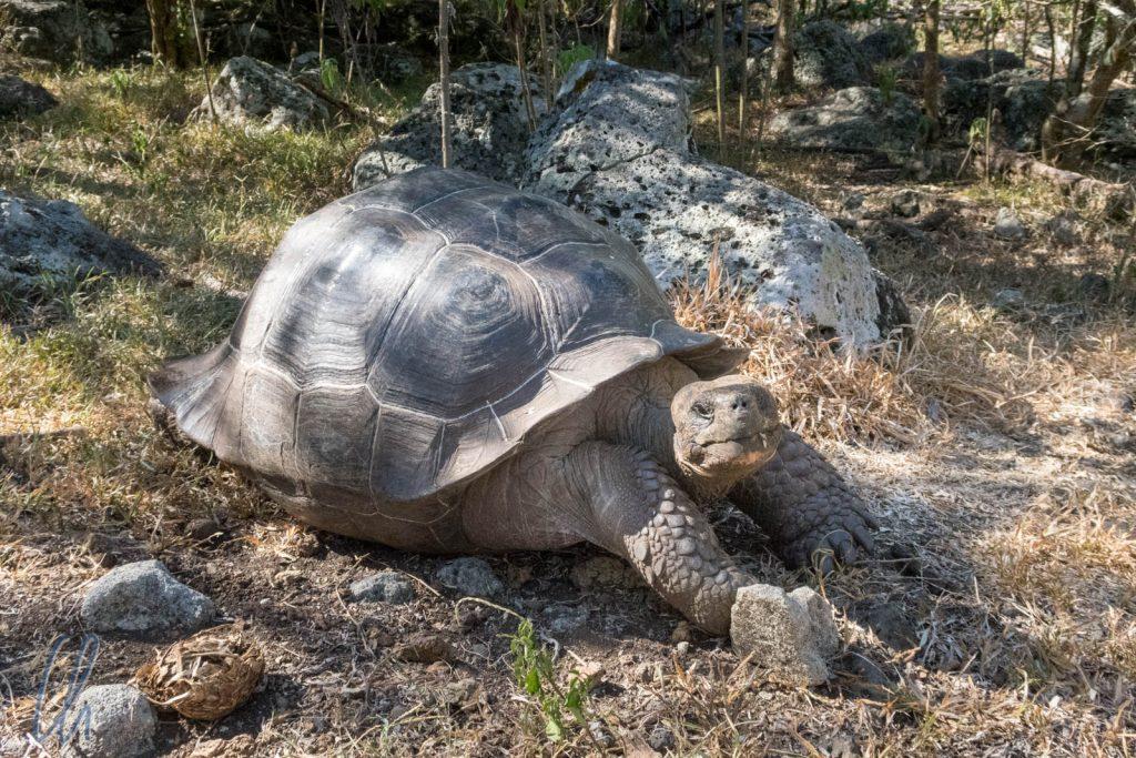 Riesenschildkröte auf Floriana