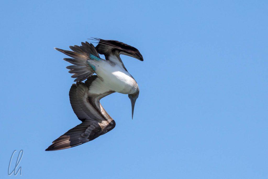 Ein Blaufußtölpel setzt zum Sturzflug an