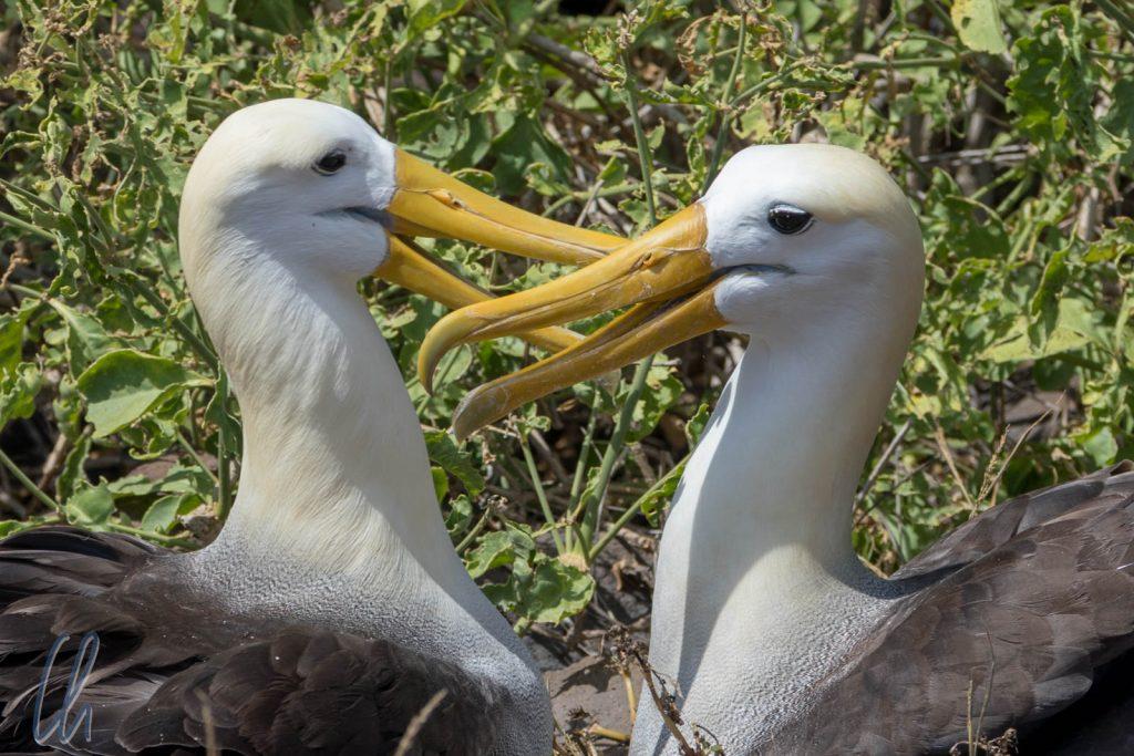 EIn glückliches Waived Albatross Pärchen