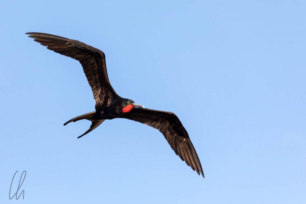 Ein männlicher Great Frigatebird am Himmel