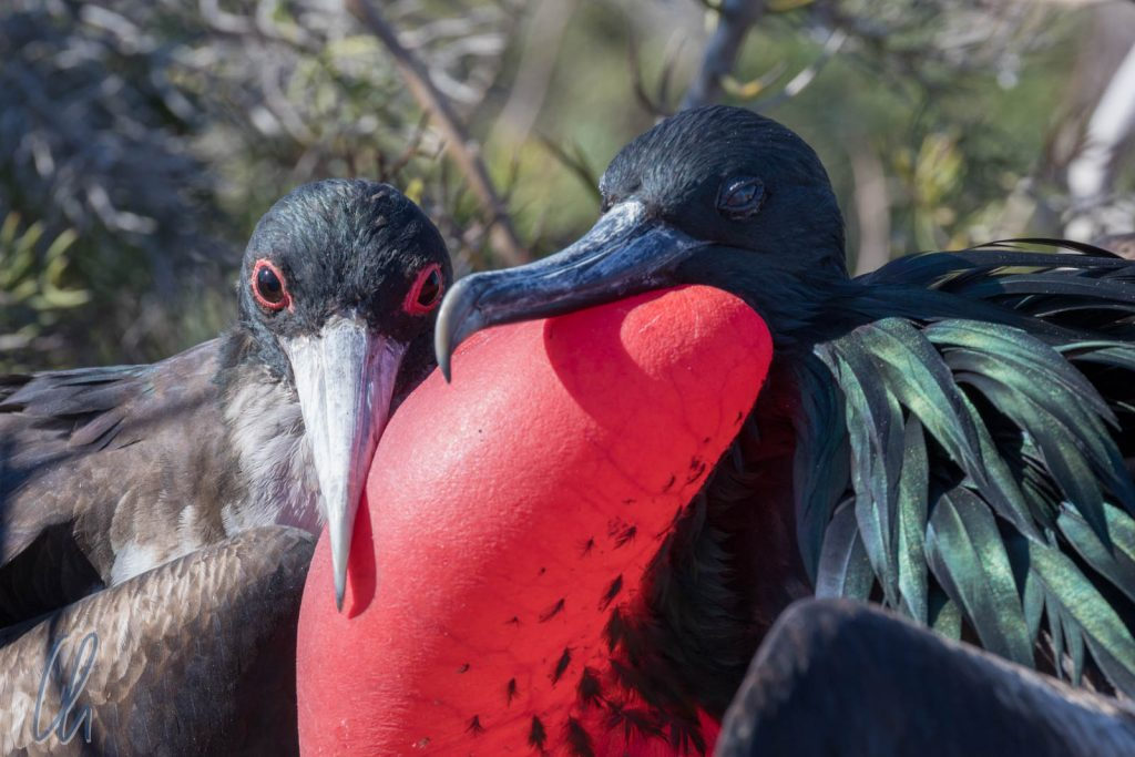 Verliebte Prachtfregattvögel