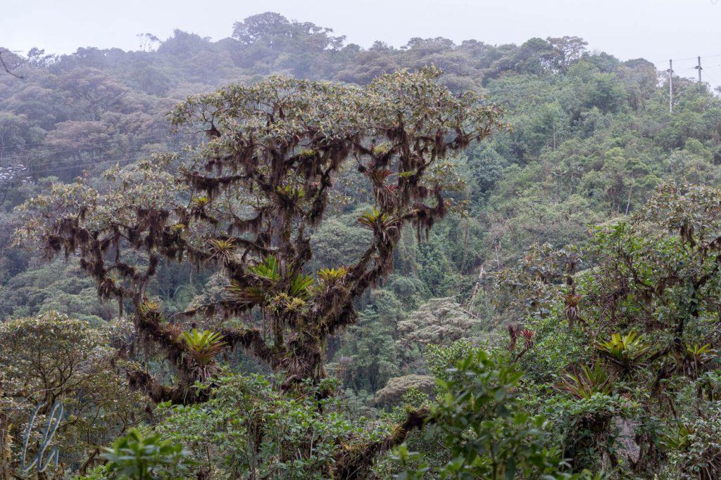 Mehr als nur ein Baum. Durch das dauerhaft feuchte Klima fühlen sich Flechten und Bromelien pudelwohl.