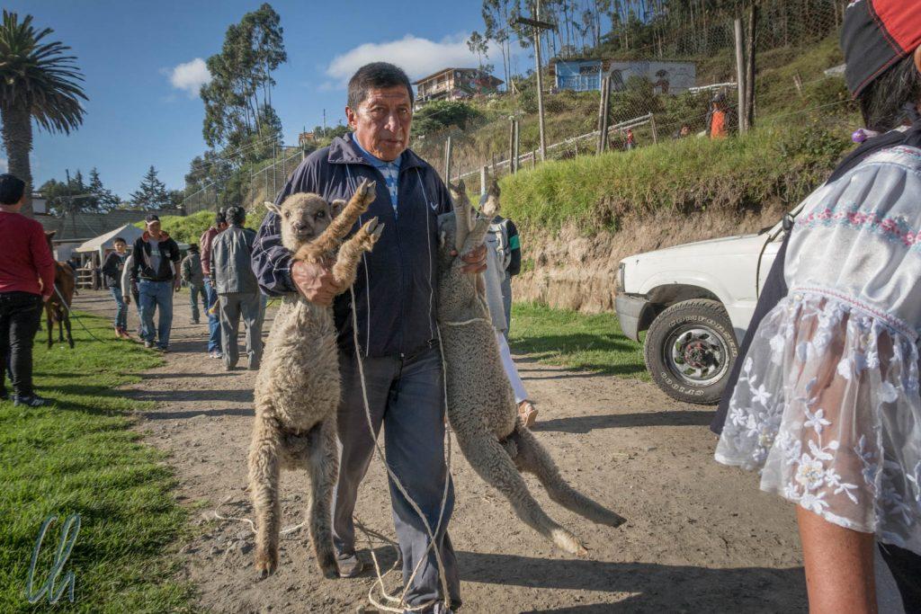 Widerstand ist zwecklos! Die beiden Schafe werden abtransportiert.