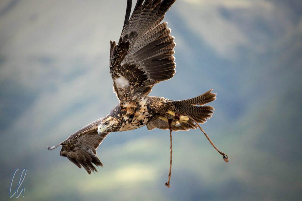 Ein Adler in der Flugschow des Kondorparks