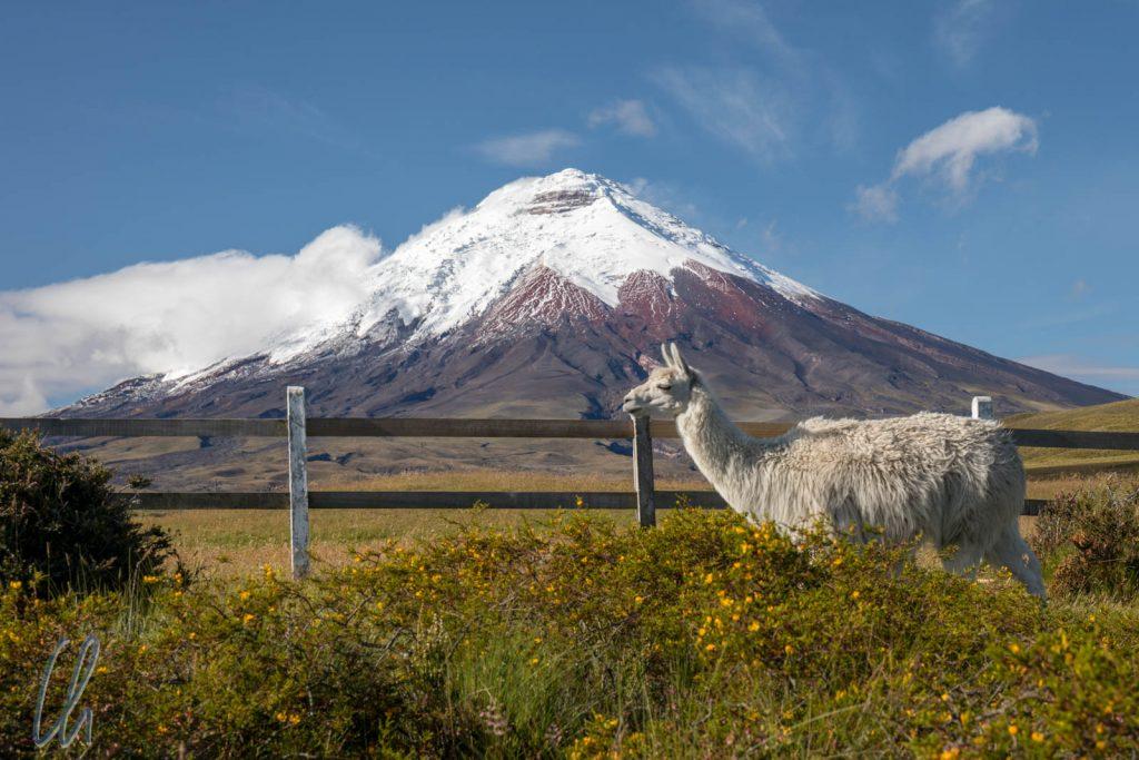 Der Cotopaxi am frühen Morgen (fast) ohne Wolken, dafür mit Lama