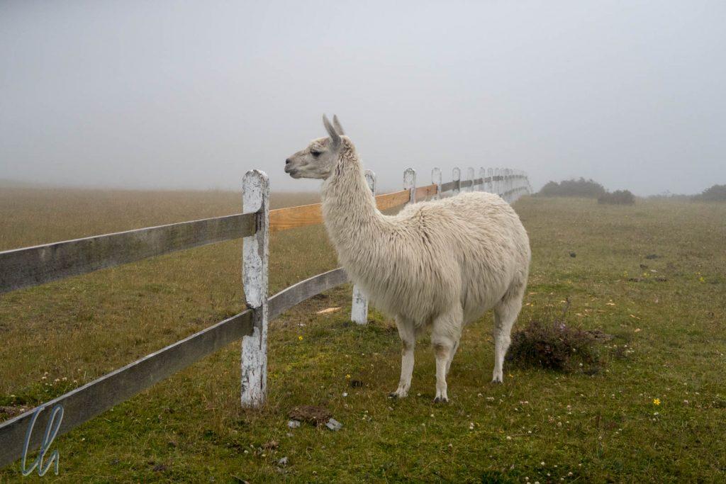 Die Lamas waren uns wesentlich lieber als die Kühe