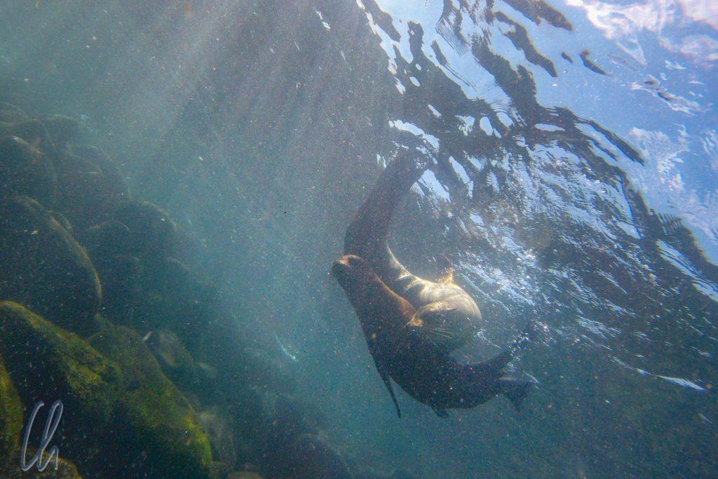 Verspielte Seelöwen unter Wasser