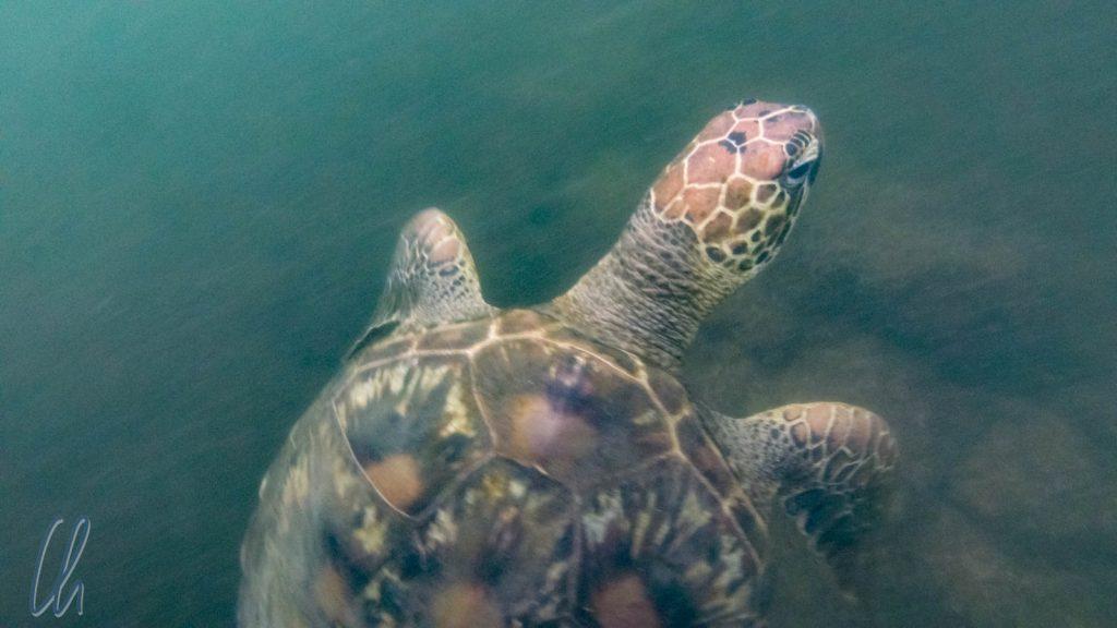 Meeresschildkröte in den Mangroven