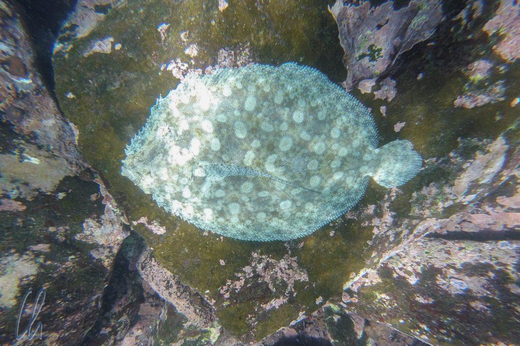 Leopard Flounder, graue Phase