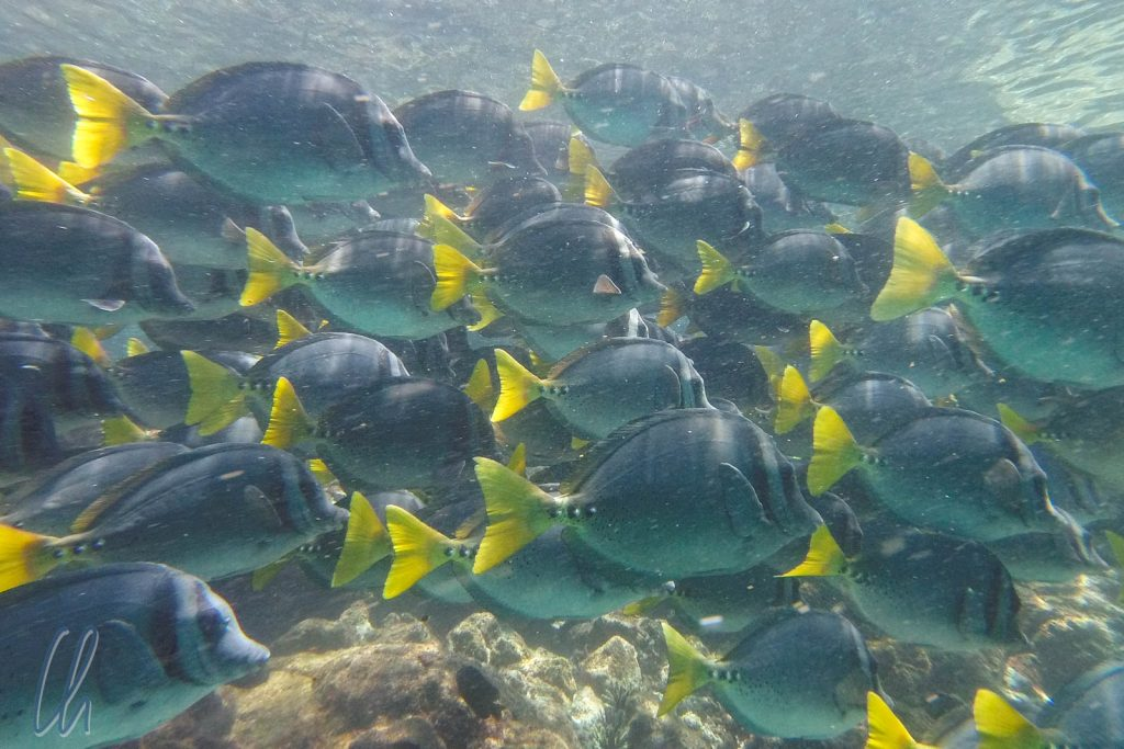 Yellow-tailed Surgeonfish (Prionuurus latclavius)
