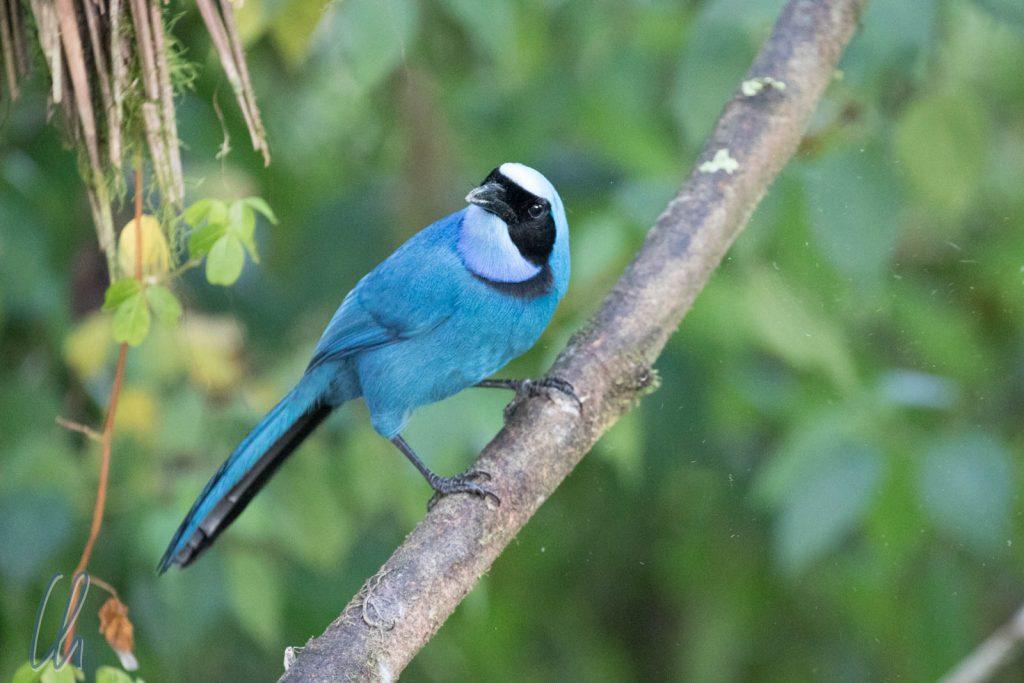 Turquoise Jay, im Nebelwald von Ballavista
