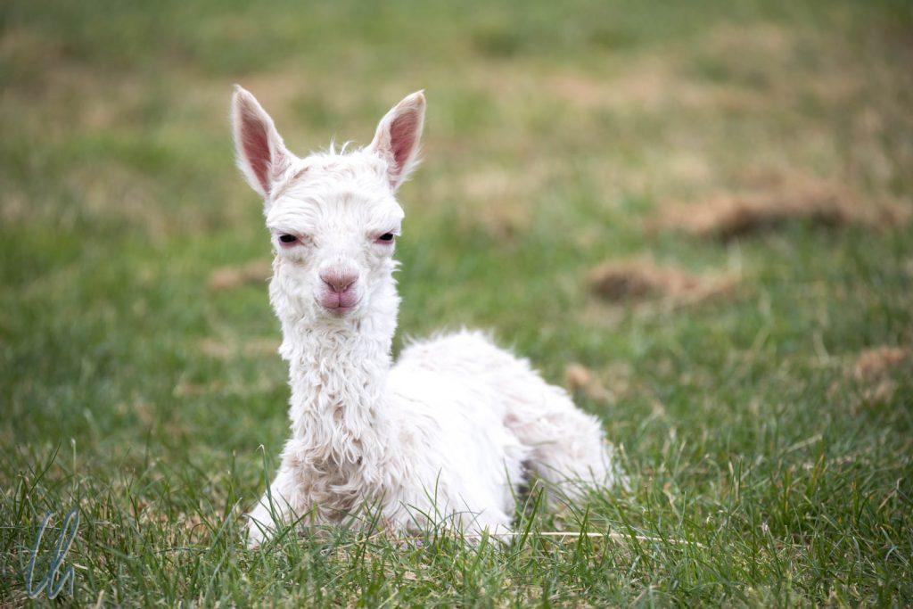Ein Baby.Alpaka