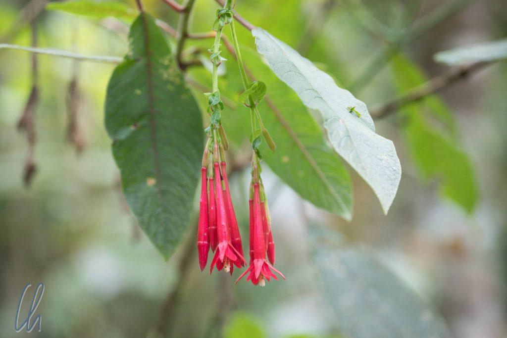 Cantua buxifolia: Die Nationalblume Perus