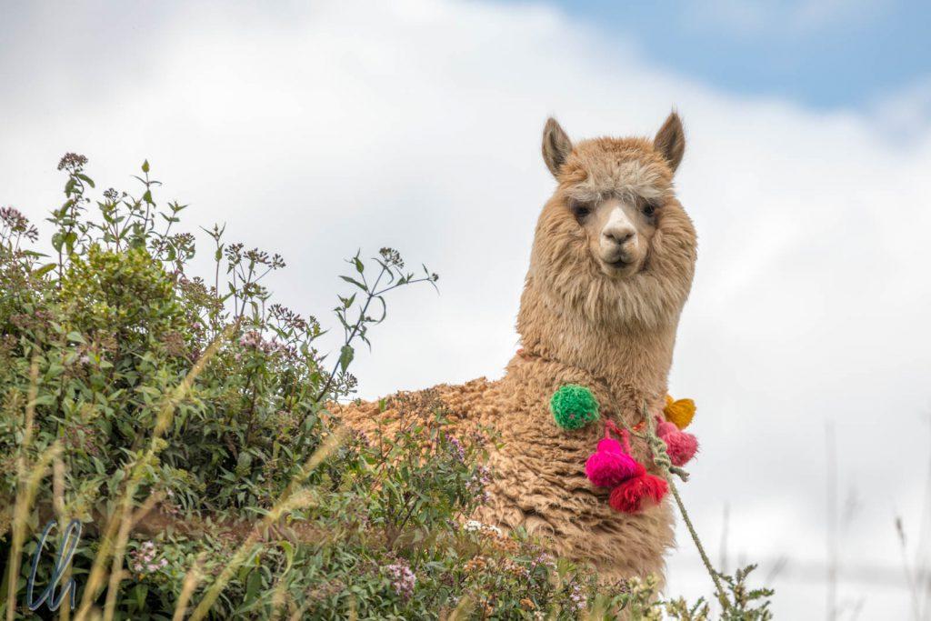 Ein sehr dekoratives und traditionell geschmücktes Alpaka