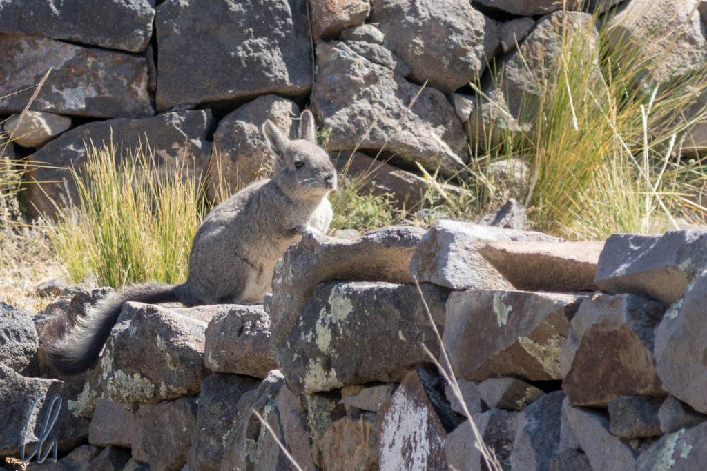 Ein Viscatcha auf der Festung Chimba