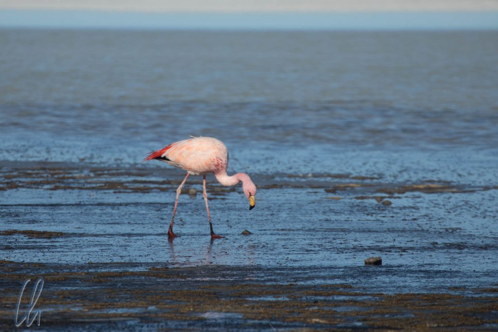 Ein James's Flamingo am Rande des Salar Uyuni